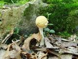 Amanita pantherina var. velatipes image