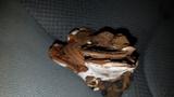 Ganoderma lobatum image