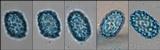 Scutellinia pennsylvanica image