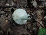 Russula silvicola image