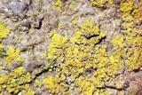 Caloplaca stellata image