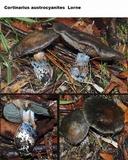 Cortinarius austrocyanites image