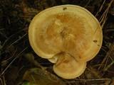 Clitocybe martiorum image