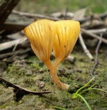 Lichenomphalia chromacea image
