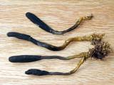 Elaphocordyceps ophioglossoides image