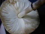 Leucocoprinus badhamii image