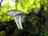 Mycena galericulata image