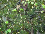 Multiclavula vernalis image