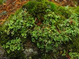 Cladonia macrophyllodes image