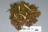 Clavariadelphus sachalinensis image
