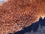 Trichaptum fuscoviolaceum image