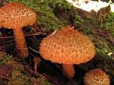 Leucopholiota decorosa image