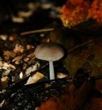 Bolbitius reticulatus image