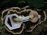 Agaricus miniatus image
