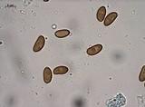 Pholiota granulosa image