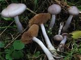 Cortinarius emunctus image