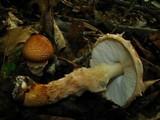 Echinoderma asperum image