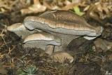 Sarcodon glaucopus image