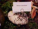 Russula cascadensis image