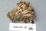 Psathyrella multipedata image