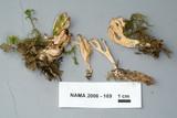 Ramaria concolor image