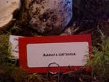 Amanita smithiana image