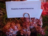Ramaria rubripermanens image