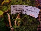 Cortinarius boulderensis image