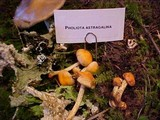 Pholiota astragalina image