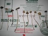 Psilocybe semilanceata image
