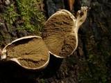 Morganella pyriformis image