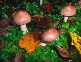 Cortinarius caninus image
