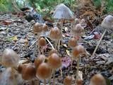 Psathyrella corrugis image