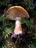 Lactarius deterrimus image