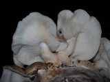 Lentinula edodes image