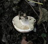 Russula nigricans image