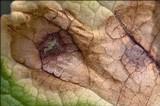 Ramularia primulae image