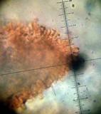 Melanoleuca exscissa image
