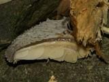 Hohenbuehelia mastrucata image