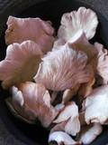 Pleurotus djamor var. roseus image