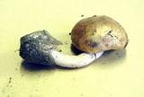 Amanita volvata image