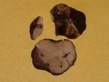 Leucogaster rubescens image