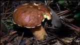 Boletus rubropunctus image