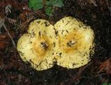 Lactarius scrobiculatus var. canadensis image
