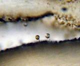 Inocybe cincinnata image