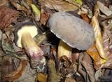 Boletus pruinatus image