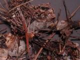 Phlebiopsis gigantea image