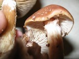 Armillaria gallica image