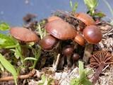 Psilocybe chionophila image