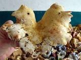 Albatrellus subrubescens image
